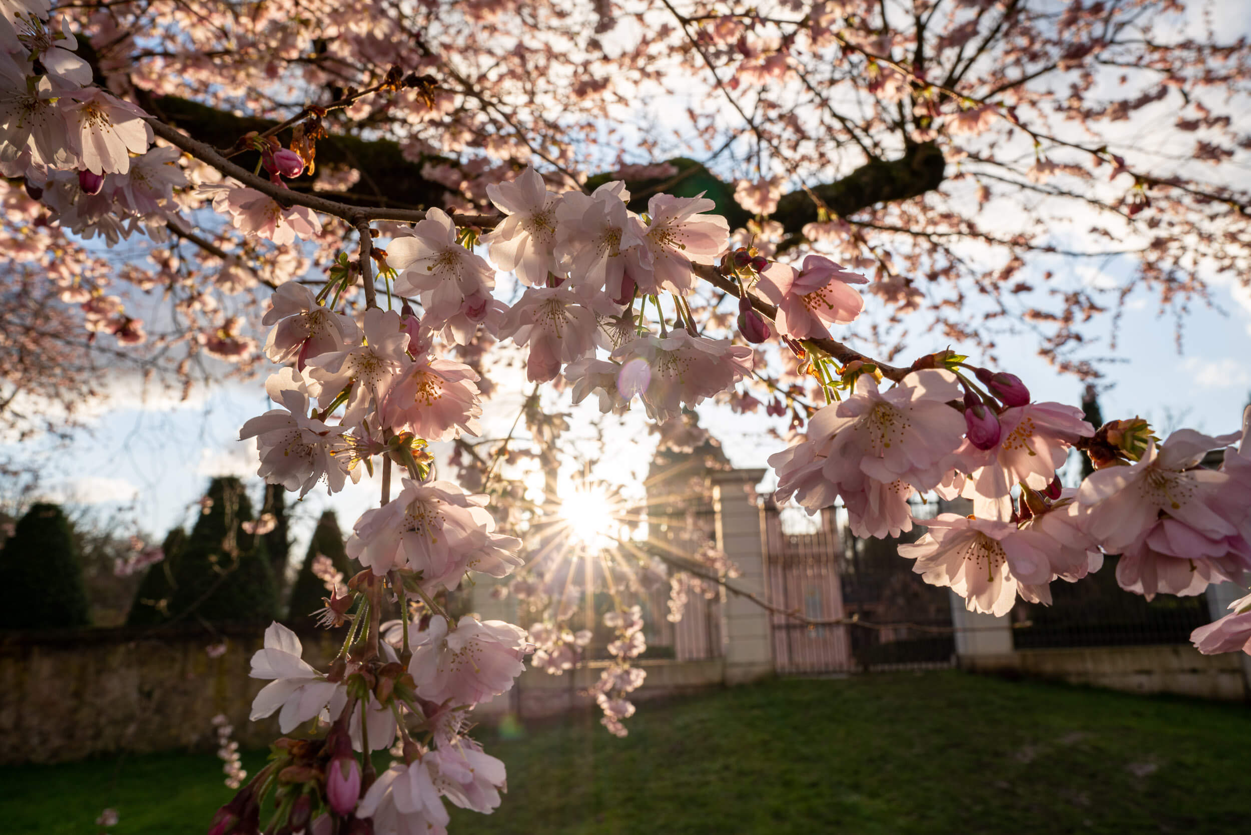 Kirschbluete im Schlossgarten Schwetzingen Sonne