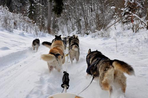 Hundeschlitten