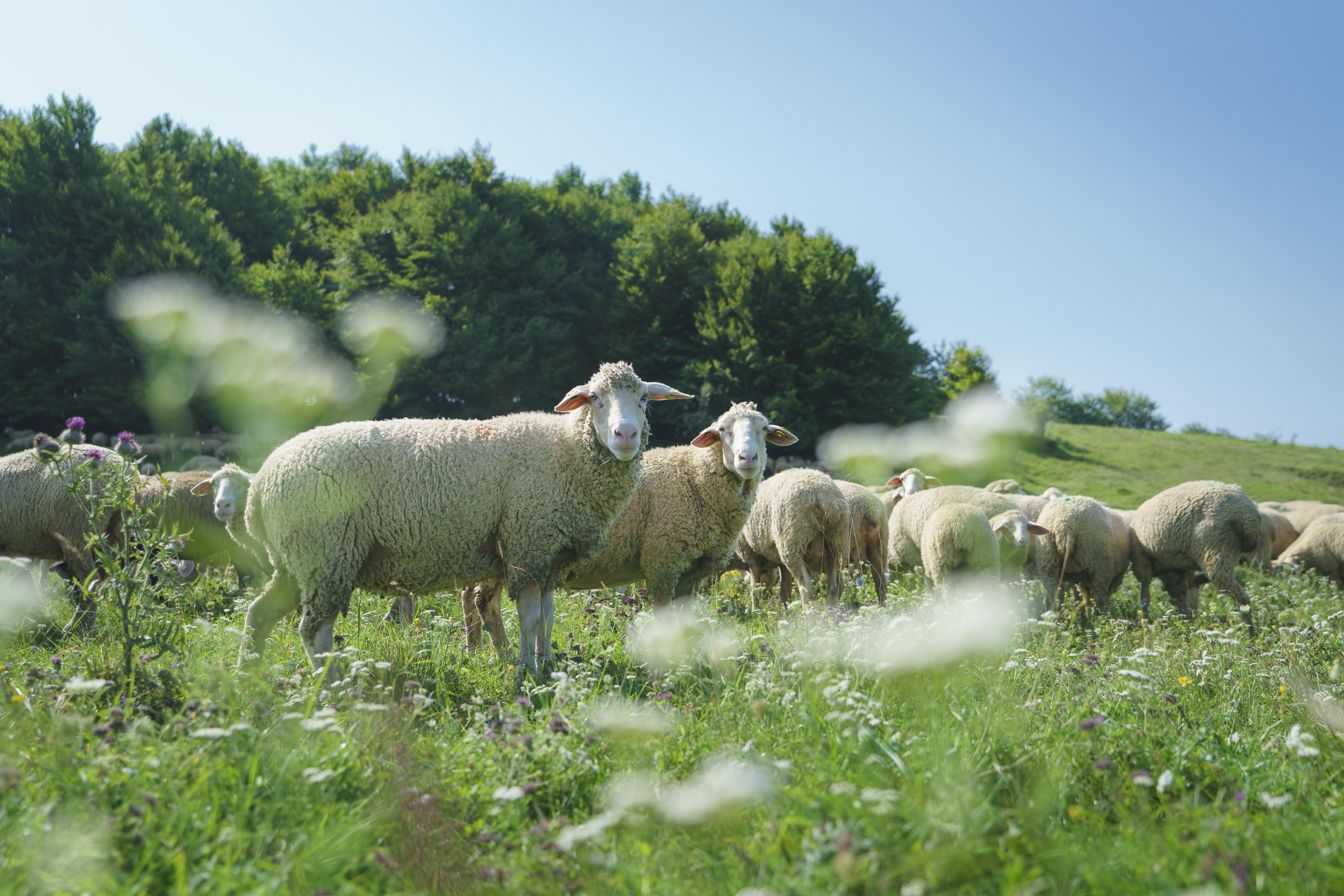 Swabian Alb Biosphere region_sheep(c)TMBW_Denger.jpg